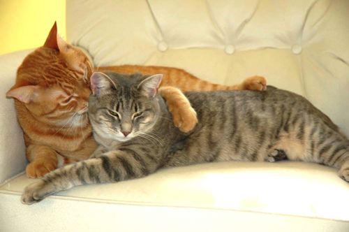 Вязка кошек, что нужно знать