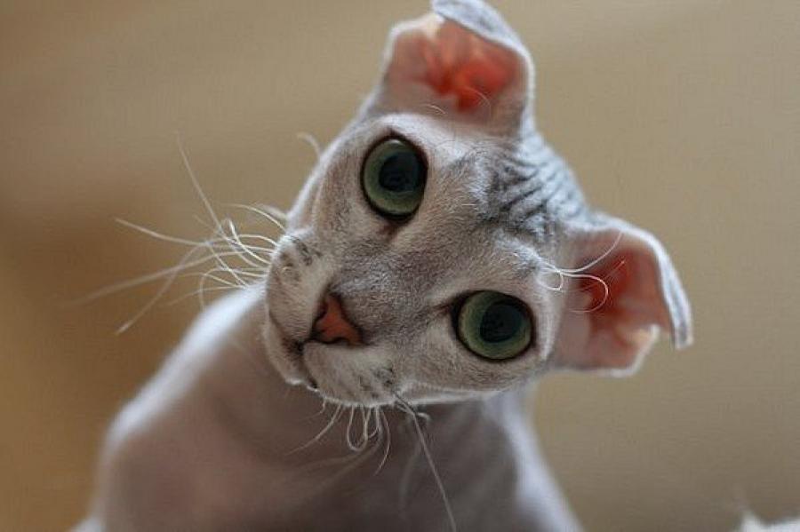 украинский левкой порода кошек