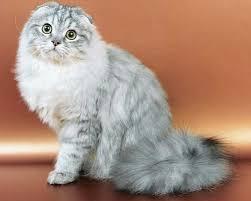 Хайленд-фолд — шотландская вислоухая длинношерстная кошка